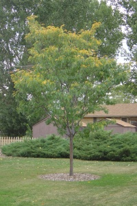 The lone tree in our backyard is finally turning yellow!