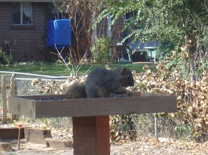 Big, fat squirrel eating our birdseed!