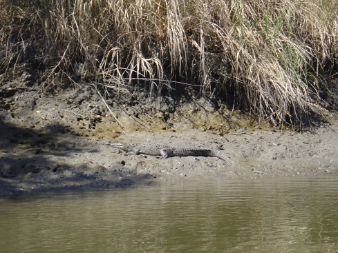 The crocodile--they blend in so well!! This one is only 1-2 years old.